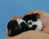 Panda-16