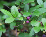 Wild Huckleberry