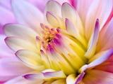 Dahlia Flower Close-Up