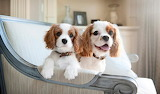Dog Breed -Cavalier King Charles Spaniel