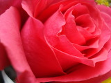 Red-roses-flower-rose-pictures-363