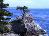Lone Ash, Monterey CA_Bill Tracey