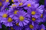 Asters autumn flowers of purple color