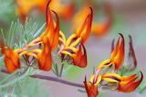 Flameflower bush