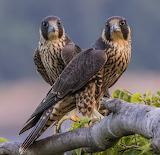 Birds - Juvenile Peregrine Falcons