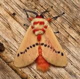 """Insects tumblr """"Flannel Moth"""" """"Trosia sp., Megalopygidae"""" Ecuado"""