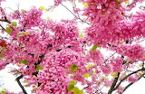 Flowering trees Branches Pink color 546605 1280x833