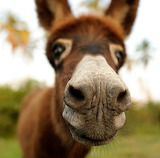 Animals - Donkey Dazzler