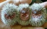 BabyHedgehogs