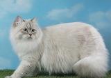 Fluffy blue-eyed kitty