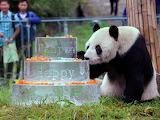 Pan Pan the Panda Grandpa during his 30th birthday Sept 2015