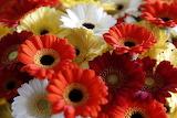 Belgian bloemen dens