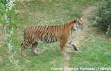Tigre / Tiger