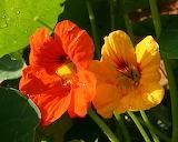 Nasturtiums - Capucines rouge et jaunes