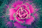 ^ Ornamental Cabbage