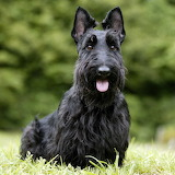 Dogs - Scottish Terrier