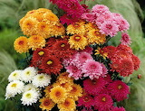 chrysanthemums flowers bouquet