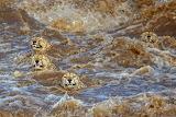 Chetas crossing a river