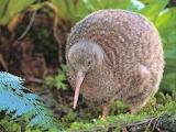 Kiwi bird of New Zealand