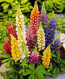 Flowers - Lupin