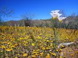 species in sonoran desert