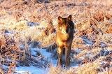 Loup-nature