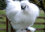 Inspiring Most Beautiful Rare Chickens Breeds on The Planet (22)