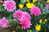 Chrysanthemum, pink 2014  9-12