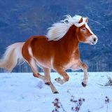 Icelandic Horse...