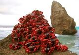 ^ Christmas Island red crab