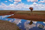 Julie Fletcher Cow Outback SA