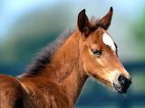 Fuzzy-The Arabian Foal...