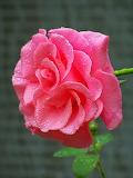 Fotos-de-rosas-de-colores-(16)