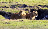 Lions Looking for Lunch