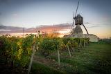 Vignes et moulin de la tranchée - Montsoreau