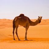 Camel In Sahara ...
