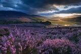 Flowers - Heather on Scotland Moors - Aberdeenshire
