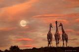 Giraffe Conversations