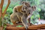 Standard Koala with young