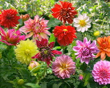 beautiful flowers-dahlia