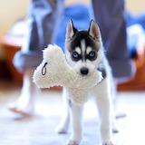 Husky Puppy...