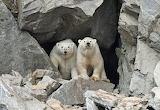 Bears - Polar Bears - Wrangel Island Russia