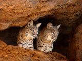 Bobcats...