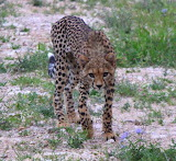 Cheetah ~ Tsavo