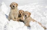 3 Golden Retrievers in the Snow...