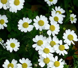 Rotate the daisies