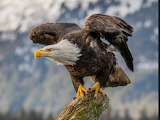 Awesome Eagle