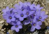 Linanthus parryae blue color flower