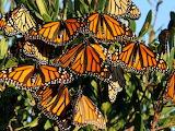 Papallones -Butterflies