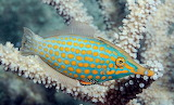 Long nose filefish
